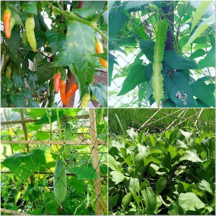Jika hujan, ngabuburitnya cukup di halaman, sambil melihat dan metik sayur